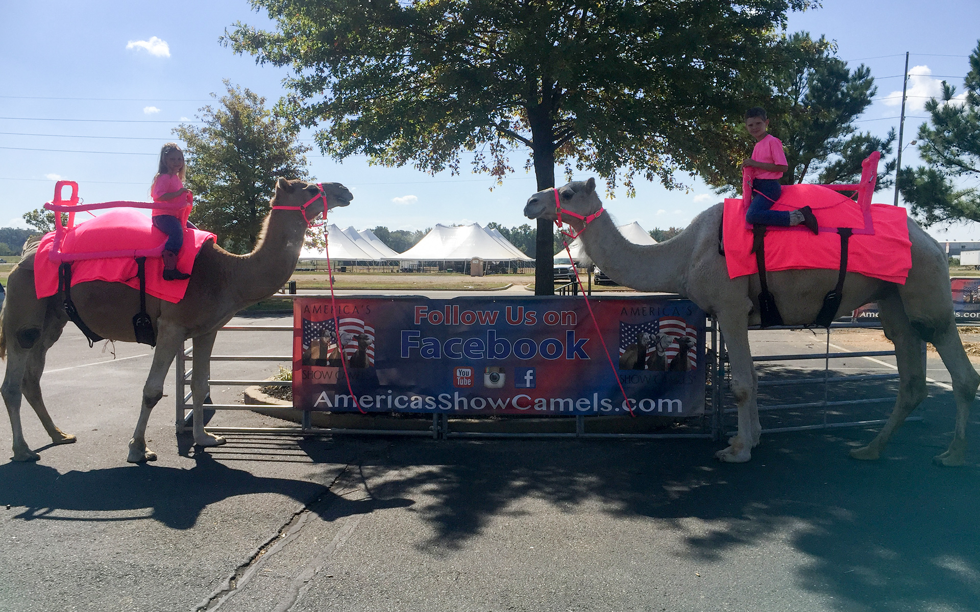 America's Show Camels is a company that show cases rare breeds of Dromedary camels across the U.S.